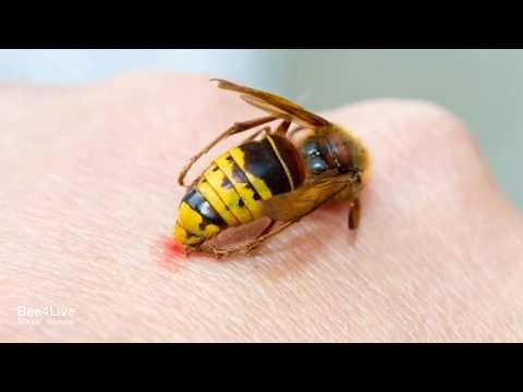 Tratamentul cu propolis al artrozei Tratamentul artritei și artrozei cu albine