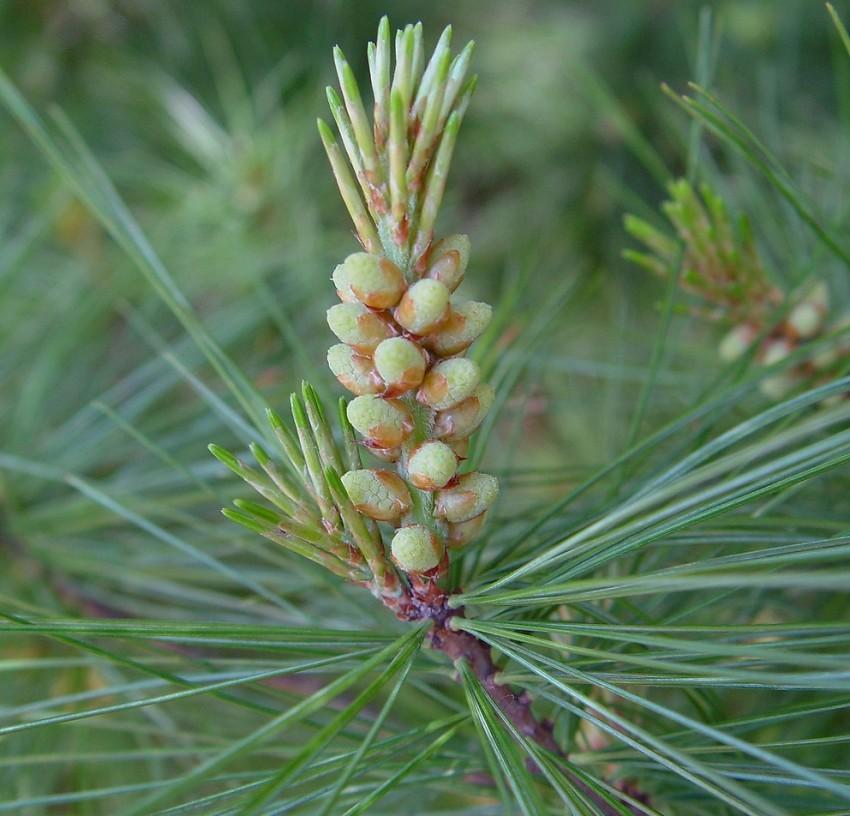 tratamentul articulațiilor cu ace de pin plante medicinale pentru tratamentul articulațiilor umărului