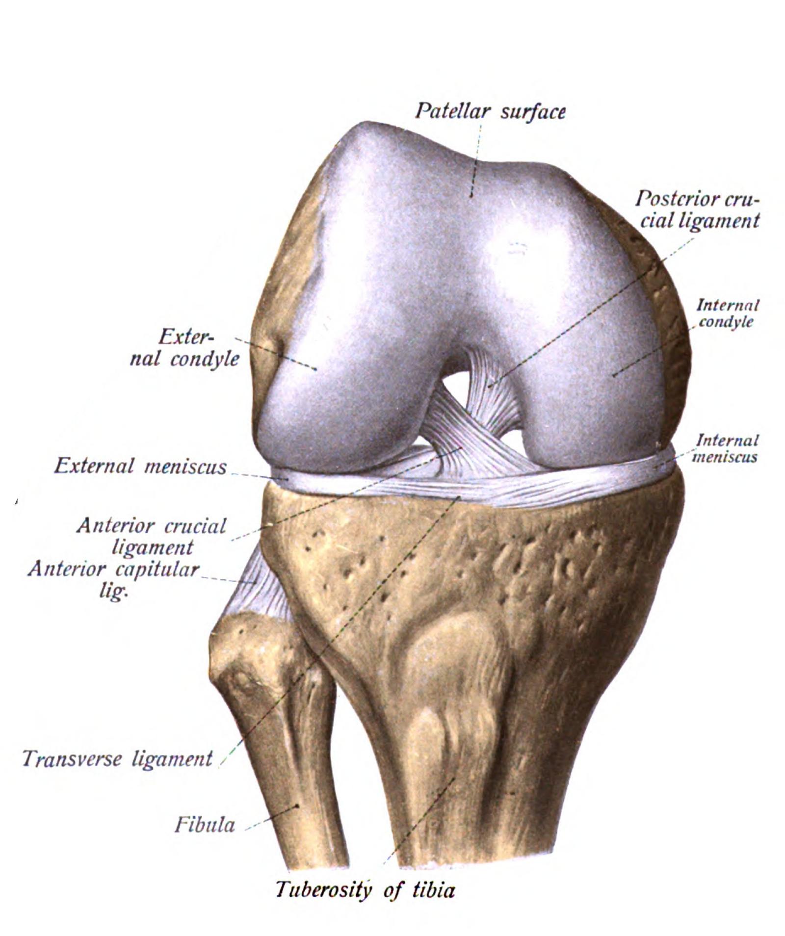 Ligamentele colaterale ale genunchiului - Revista Galenus