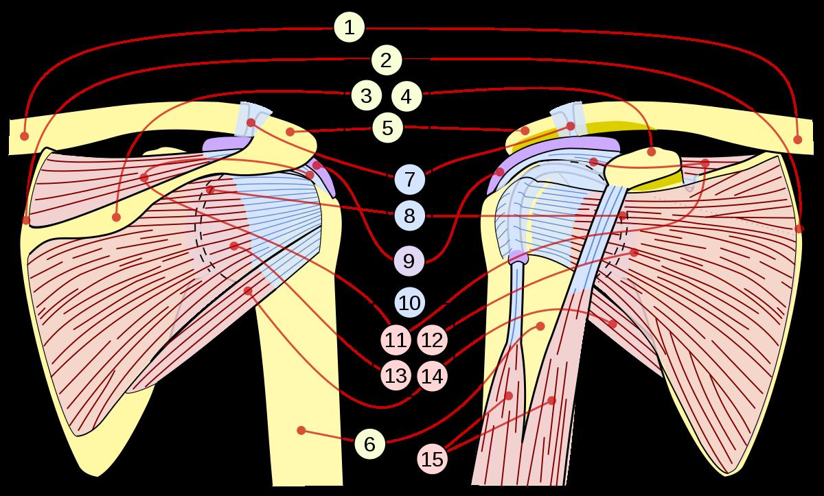 tratamentul rupturii ligamentului la încheietura mâinii articulații rigide dimineața simptomele bolii