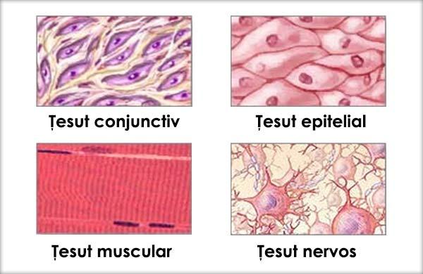 țesut conjunctiv scheletic cartilaginos