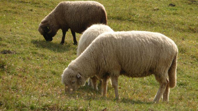 Bruceloza la ovine: semnele bolii care cauzează avortul oilor. Măsuri de prevenire la stână!
