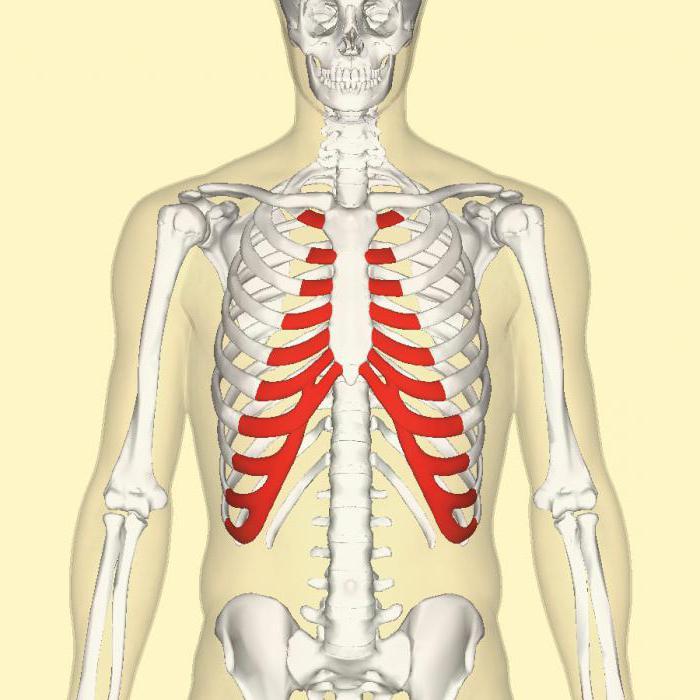 Funcțiile cartilajului conectiv. Țesut conjunctiv