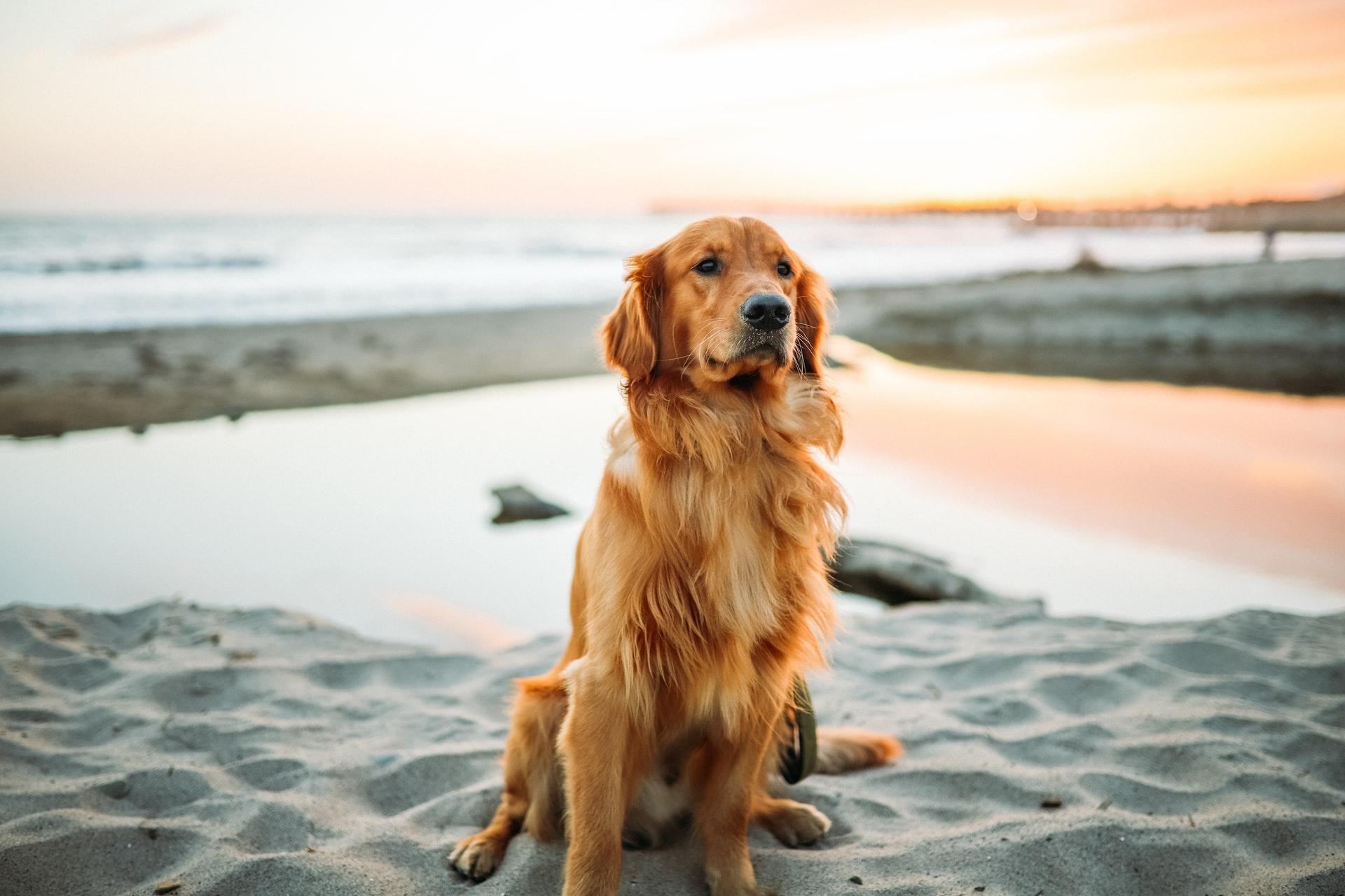 Artroza în tratamentul câinilor ciobani - championsforlife.ro