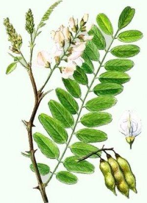 O floare care lasă arată ca salcâmul. Arbore de salcâm alb: proprietăți benefice și rău